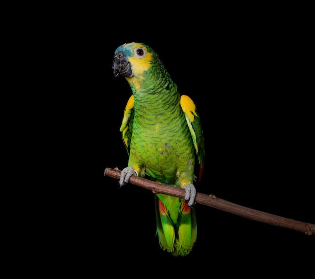 Amazone met turkooisvoorzijde die op zwart wordt geïsoleerd