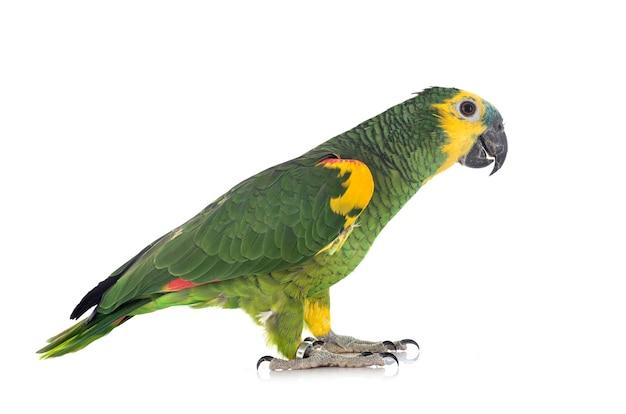 Amazone met turkooisvoorzijde