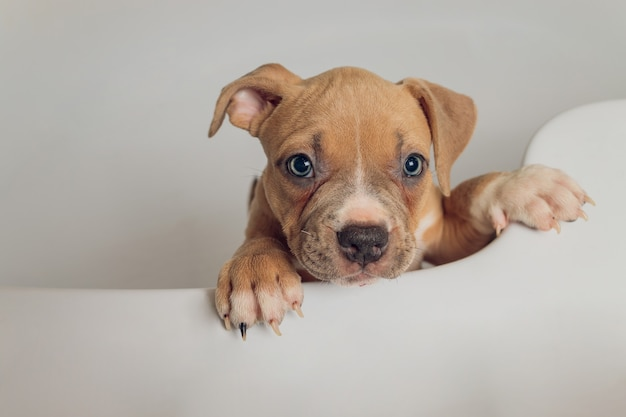 American bully baden, pitbull, hond schoonmaken, hond een bad nat maken.