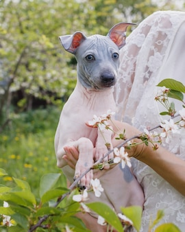 American hairless terrier-puppy die naast witte bloemen wordt vastgehouden