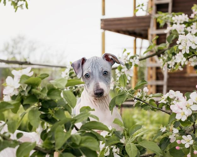 American hairless terrier-puppy met witte bloemen eromheen