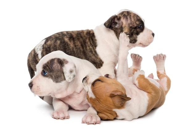 American staffordshire terrier puppies spelen
