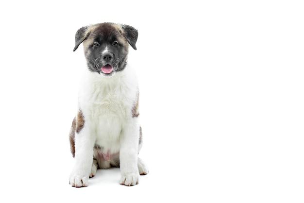 Amerikaans akita klein puppy dat wit met bruine vlekken heeft