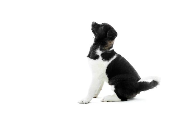 Amerikaans akita puppy