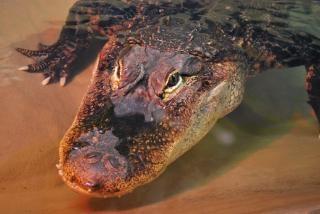 Amerikaanse alligator