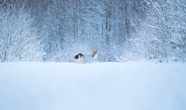 Amerikaanse beagle en gemengd ras herdershonden lopen