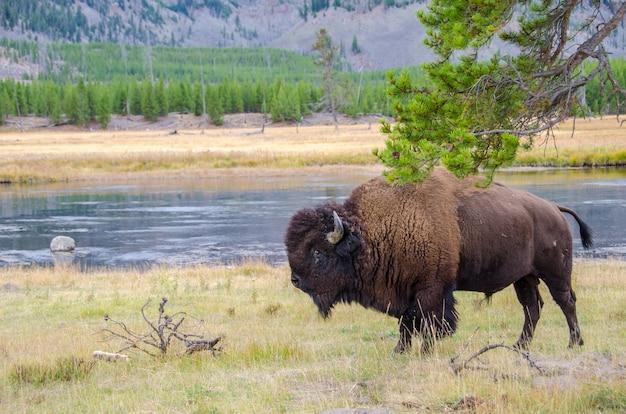 Amerikaanse bizon in yellowstone national park langs de rivier de madison