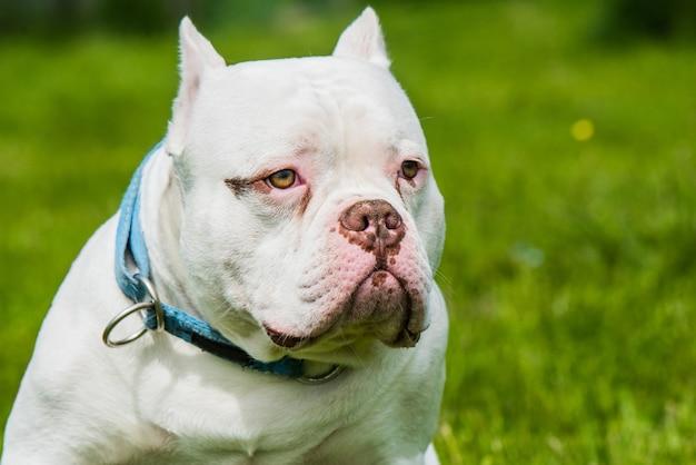 Amerikaanse bullebak hond mannelijk close-up portret buiten