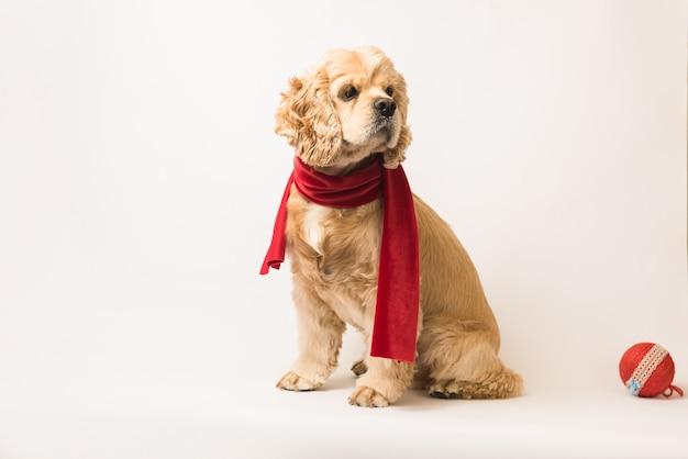 Amerikaanse cocker-spaniël in een rode sjaal