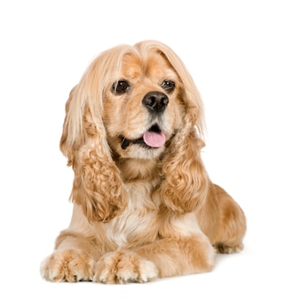 Amerikaanse cocker spaniel met 3 jaar. geïsoleerd hondportret