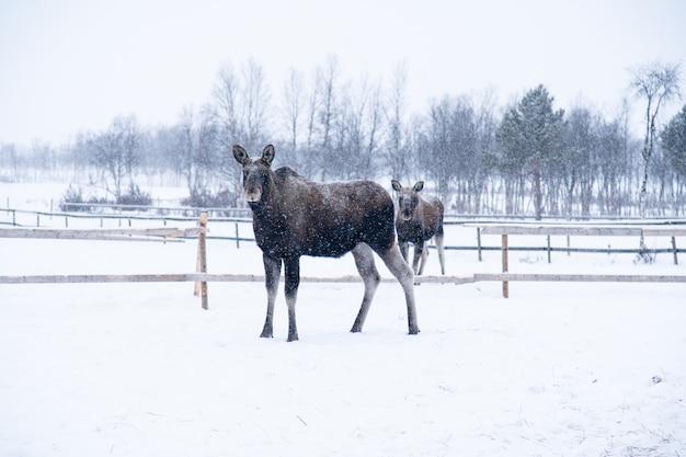 Amerikaanse elanden staan in een besneeuwd veld in het noorden van zweden