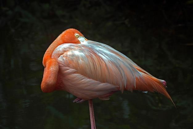 Amerikaanse flamingo die op één been rust