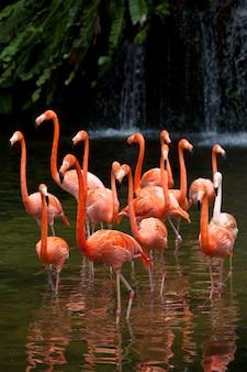 Amerikaanse flamingo (phoenicopterus ruber), oranje flamingo