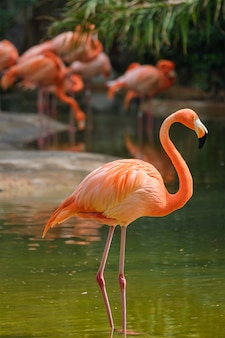 Amerikaanse flamingo phoenicopterus ruber vogel