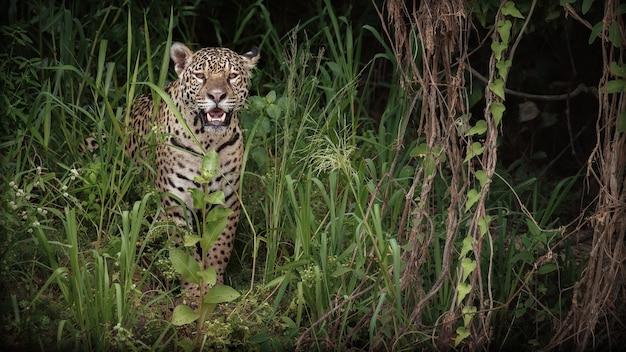 Amerikaanse jaguar in de natuurhabitat van de zuid-amerikaanse jungle