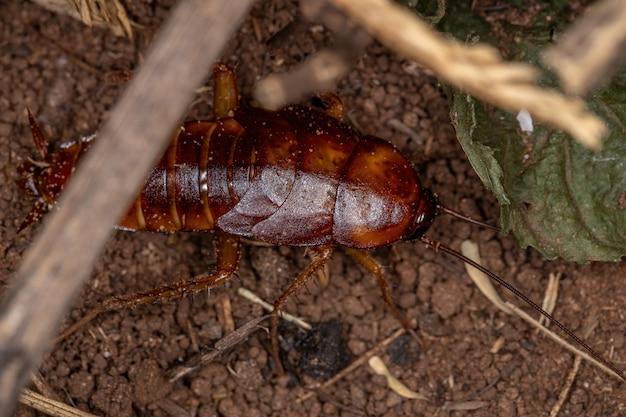 Amerikaanse kakkerlaknimf van de soort periplaneta americana