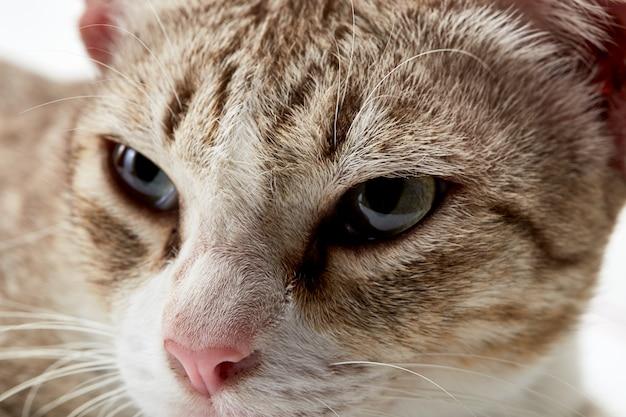 Amerikaanse kort haar kat liegen