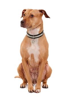 Amerikaanse pit bull terrier, 4 jaar oud. geïsoleerd hondportret