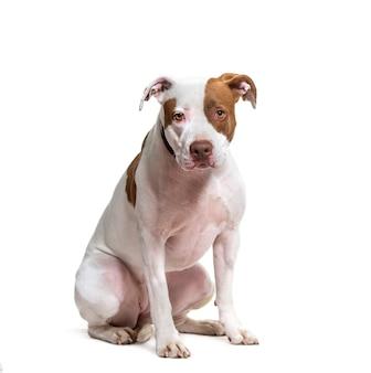 Amerikaanse pit bull terrier-verwijderde hondzitting ,.