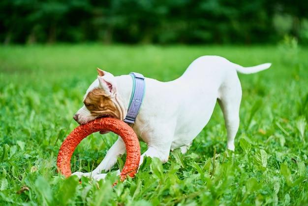 Amerikaanse pitbullterriër speelt met trekspeelgoed in park en traint actieve hond buiten