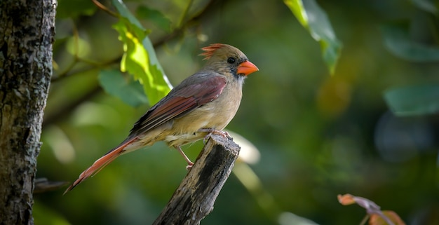 Amerikaanse robin (turdus migratorius)