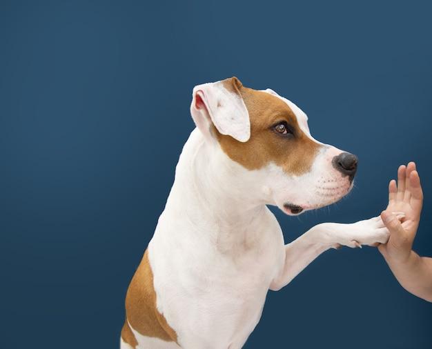 Amerikaanse staffordshire hond high five. geïsoleerd op blauw oppervlak