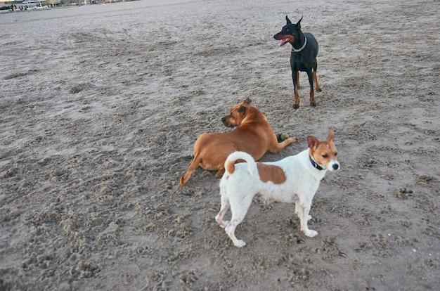Amerikaanse staffordshire terriër en mongrell en doberman-honden die op een strand lopen.