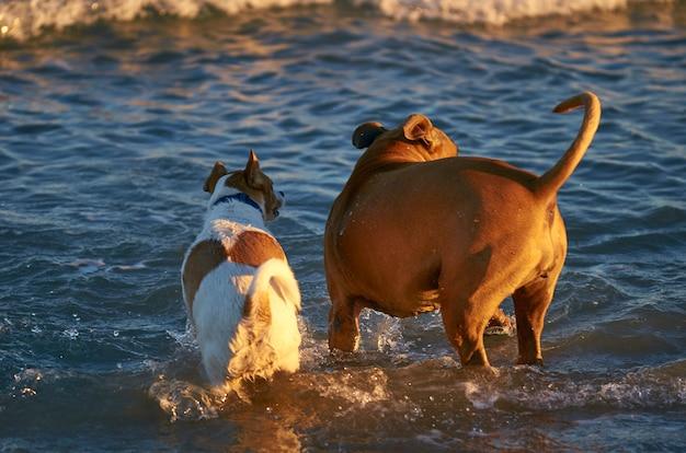 Amerikaanse staffordshire terriër en mongrell-hond, podenco, jack russel-terriër die op een strand lopen
