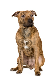 Amerikaanse staffordshire terriër met 9 maanden. geïsoleerd hondportret