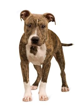 Amerikaanse staffordshire terriër pup met 5 maanden. geïsoleerd hondportret