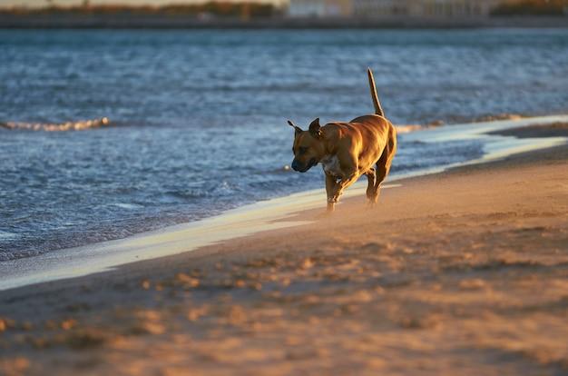 Amerikaanse staffordshire terriërhond die op het strand bij zonsondergang loopt