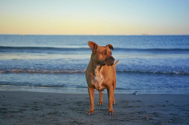 Amerikaanse staffordshire terriërhond op het strand bij zonsondergang.