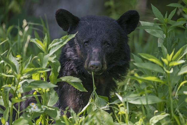 Amerikaanse zwarte beer omgeven door bladeren onder het zonlicht