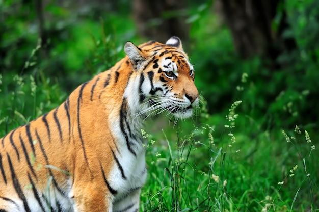 Amoer tijgers op een geass in zomerdag