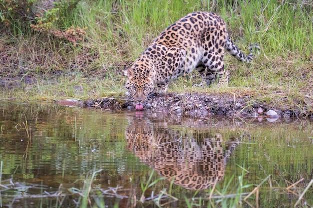 Amoerpanter drinken uit een zwembad met reflectie