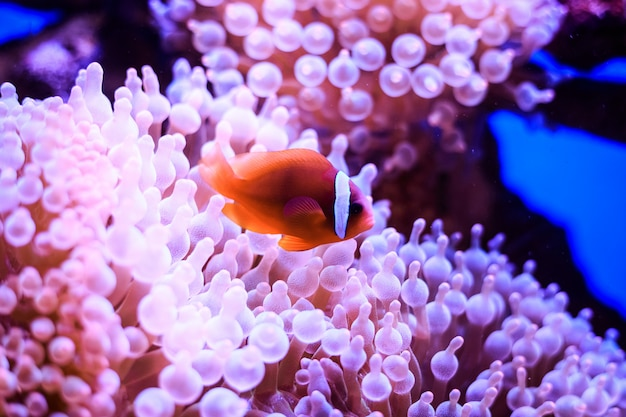 Amphiprion (western clownfish (ocellaris clownfish, false percula clownfish)) zit in anemoon. thailand.