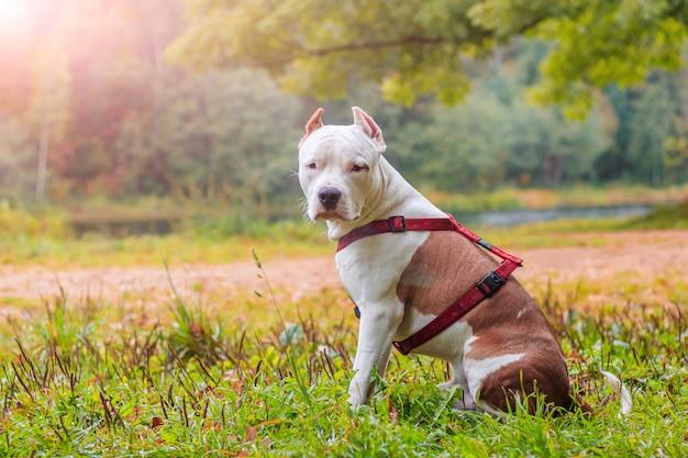 Amstaffhond op een wandeling in het park. grote hond. bright hond. lichte kleur. huisdier.