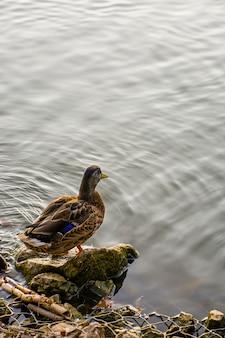 Anas platirhinchos (mallard) drijft op het water. wild aan het rollen. krizhen.