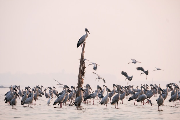 Anastomus oscitans grote wadende vogel in de ooievaarsfamilie - aziatische openbill-ooievaarsvogels in het meer