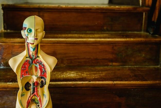 Anatomisch model van het menselijk lichaam in plastic om te studeren in de klas of voor de dokter.