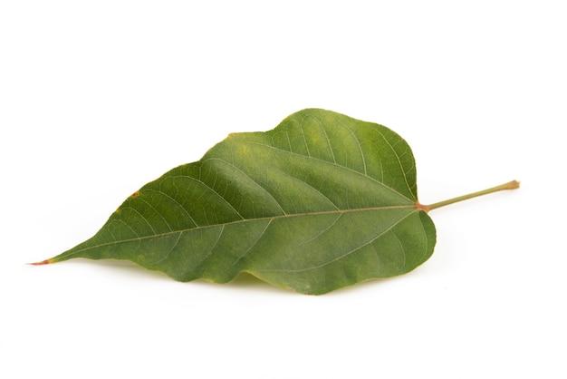 Anattoboom of bixa-orellana groen blad dat op wit wordt geïsoleerd.
