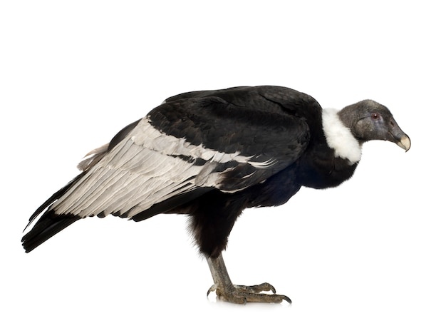 Andescondor (15 jaar) vultur gryphus - vooraan op een wit geïsoleerd
