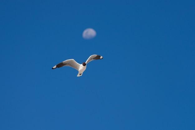 Andesmeeuw die tegen blauwe hemel en defocused maan vliegt
