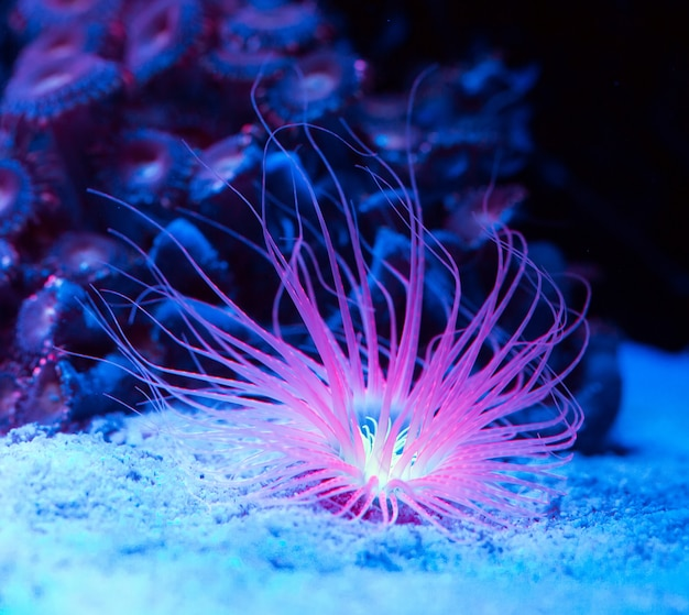 Anemonen. koralen in een zeeaquarium.