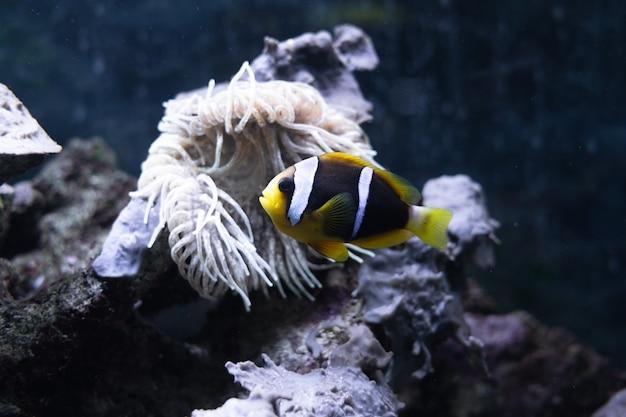 Anemoonvis amphiprion akallopisos zwemmen in een groot aquarium tegen de achtergrond van riffen en ...