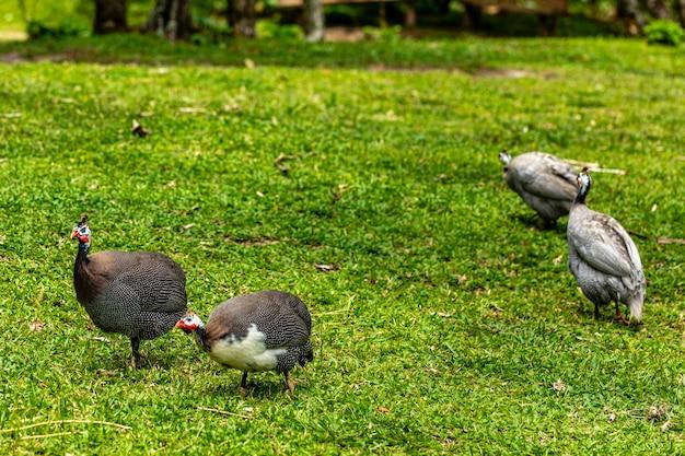 Angola kip wandelen op het gazon van de boerderij.
