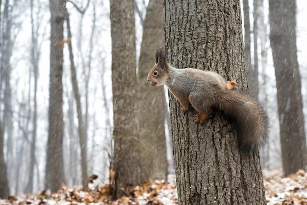 Animalistisch thema eekhoorn strekt zich uit over de boom in de winter het bos