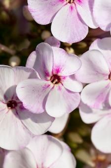 Anjer bloeit in de lente
