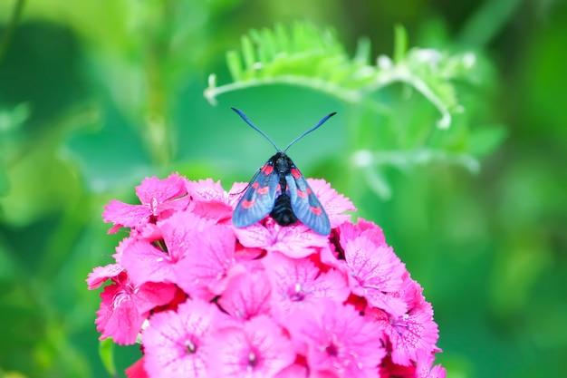 Anjers bloeien in de zon. de zes-spot burnet zygaena filipendulae - een dagvliegende mot.