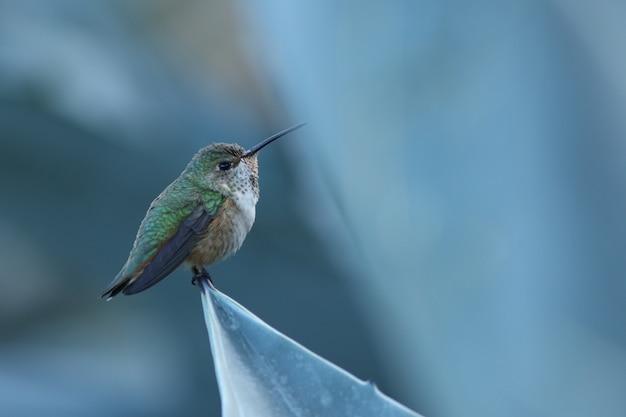 Anna's kolibrie!
